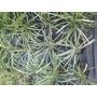 Liriopes Flor Blanca Arbusto Perenne Envase 3 Litros