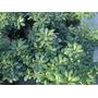 Azarero - Olea Fragance Olea Fragans Arbusto Plantas Vivero