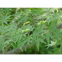 Acer Palmatum O Arce Japonés 1,60 M.: Arbusto Hacemos Envíos