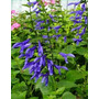 Salvia Guaranitica Arbusto Nativo Ideal Jardin