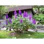 Tibouchina - Hermosa Planta De Flor Violeta