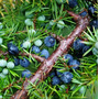 Cultivá Tu Frutal De Enebro!!! Juniperus Communis!!!