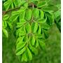 Plantas De Moringa Oleifera/ Altura 50 Cm/ Maceta 6 Litros