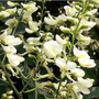 50 Semillas De Sophora Japónica (styphnolobium Japonicum)
