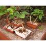 Bonsai----muchos Tamaños Desde $198
