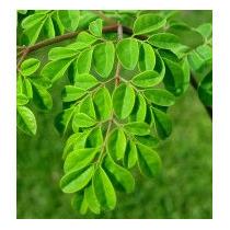 Plantas De Moringa Oleifera/ Altura 40 Cm/ Maceta 6 Litros