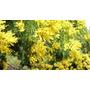 50 Semillas De Acacia Aromo (tusca)