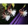Cactus-epiphyllum Oxipetalum O Dama De Noche-raras-exoticas-