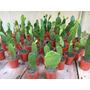 Cactus Baratos En Maceta Numero 6