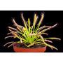 Plantas Carnivoras - Droseras Capensis - Albino - Spatulata