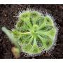 Planta Carnívora Drosera Burmannii 18 Y 24 Meses