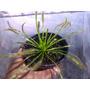 Plantas Carnivoras Droseras
