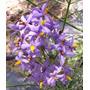 Solanum Angustiphidume04 (jazmin De Cordoba) Envíos
