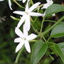 Jazminum Azoricum E04 (jazmin Azorico). Envíos