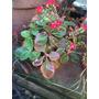 Planta De Kalanchoe - Con Flores