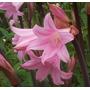 Amaryllis Belladona - Azucena Rosa