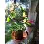 Flor De Nacar(hoya Carnosa) Planta En Maceta O En Kokedama