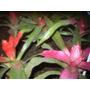 Nidularium Bromelia - Vivero Planta Plantines Flor Viveruski