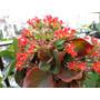 Calanchoe, De Flores Rojas, Sutil Y Resistente! Muy Bonita
