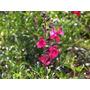 Salvia Greggii (flor Rosa Y Roja) 30-50 Cms. X 2 Unidades