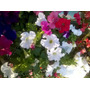 Plantas Petunias Plantas Petunias Plantines Flores