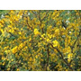 50 Semillas De Acacia Aromo Tusca