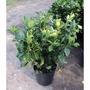 Gardenia O Jazmin Del Cabo 50-60 Cms.hacemos Envíos Consulte