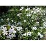Jazmin Del Cielo Blanco:planta Trepadora 1,50-2 M.
