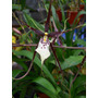 Brassia Black Magic (agave Sin Envios) 1 Vara