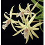 Orquidea Miltonia Flavescens