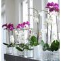 Orquideas Phalaenopsis En Flor Día De Los Enamorados -