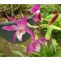 Orquídea Dendrobium Rainbow Dance Acanee Exotica Orquideas
