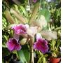 Orquideas Cattleyas