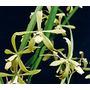Orquídea Encyclia Stellata (a Florecer)