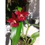 Orquídea Cattleyas Varios Colores