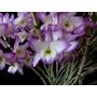 Plantas Orquideas Dendrobium Sakura Hime - Orquidea Planta