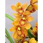 Orquídea Cymbidium Enzan Forest Majolica Formando Vara Flo