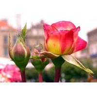 Rosa De Rio Negro Vrs Colores - Rosauer