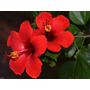 Rosa China 3l. Simples/dobles Varios Colores. Envíos