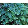 Helechos Azul. Selaginella Uncinata