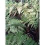 Helecho Arborescente - Envase 10 Lts. - Envios