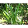 Iris Neomarica Grassilis Tres Plantas