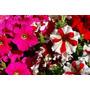 Plantines Florales- Petunias Cajón-maceta Nº12- 10u $130