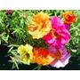 Alegria Hogar Plantines X 20 Petunia Flor Azucar - Vivero