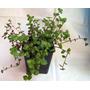 Planta Peluca Colgante O Cubresuelos Adrogue Microcentro
