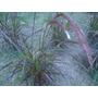 Planta Pennisetum Rubra 3 Litros, Ezeiza Zona Sur