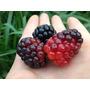 Semillas(10)de Zarzamora Gigante,frutales Tropicale Exoticos