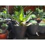 Callisia Fragans - Planta Araña, Canasta. Maceta De Cultivo