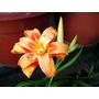 Planta De Azucena Doble. Hemerocalis Color Naranja.
