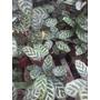 Planta De Interior Calathea Macoyana